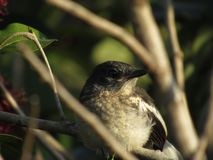 Free Female Oriental Magpie-Robin Closeup Stock Images - 134273014