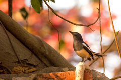 Female Oriental Magpie Robin (Copsychus saularis) in nature Royalty Free Stock Photography
