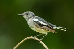 Female Oriental Magpie Robin Royalty Free Stock Image