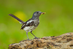 Female Oriental Magpie Robin Stock Photography