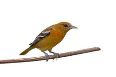 Female Oriole. Female baltimore oriole perched on a branch, white background Royalty Free Stock Images