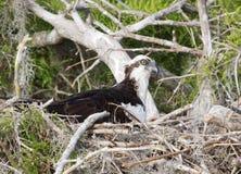 Female Osprey Stock Image