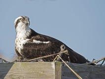 Female Osprey Royalty Free Stock Images