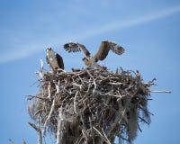 Nesting Osprey stock image