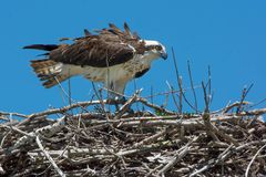 Osprey - Pandion haliaetus. Female Osprey standing up in her nest. Lake Dalyrmple, Kawartha Lakes, Ontario, Canada Royalty Free Stock Images