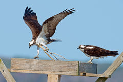 Osprey Royalty Free Stock Image