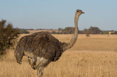 Female Ostrich stock photo