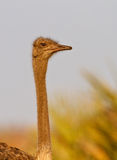 Female ostrich. Portrait, South Africa Stock Photo
