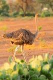 Female ostrich, Amboseli park, Kenya Stock Photography