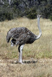 Female Ostrich - Botswana Royalty Free Stock Images