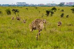 Female Ostrich and cubs in the savannah royalty free stock photo