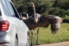 Female ostrich facing tourists Stock Photography