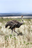 A female Ostrich in grassland of Masai Mara Royalty Free Stock Image