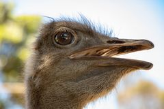Ostrich Head Close Up. Female Ostrich head, detailed close up of feathers and hairs royalty free stock images