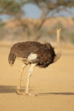 Female ostrich in natural habitat Stock Photography