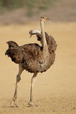 Female ostrich in natural habitat Royalty Free Stock Photos
