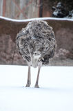 Ostrich in the snow Stock Photos