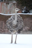 Ostrich in the snow2 Royalty Free Stock Photos