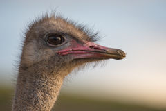 Female Ostrich Portrait Royalty Free Stock Photo
