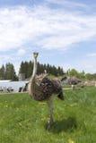 Female Ostrich Stock Photo