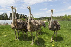 Female Ostrich Royalty Free Stock Image