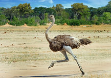 Female ostrich running across the Hwange Plains. A female Ostrich running across the african plains in Hwange National Park, Zimbabwe, with a natural tree and Stock Photo