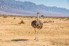 A female Ostrich in a savanna landscape, Arava South Israel. A female Ostrich in a savanna landscape, `Hay-Bar` Yotvata Nature Reserve for restoration of animals royalty free stock images