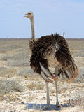 Female Ostrich standing on the Etosha Pan royalty free stock image