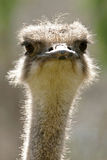 Female Ostrich Royalty Free Stock Photos