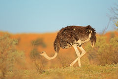 Female ostrich. (Struthio camelus), Kalahari desert, South Africa Royalty Free Stock Images