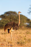 Female Ostrich Stock Image