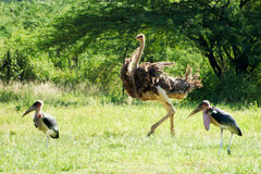 Female ostrich with two marabous Stock Photos