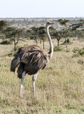 A female Ostrich in the vast grassland Stock Images