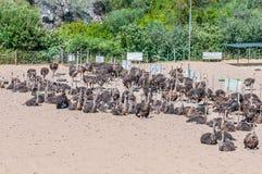 Female ostriches Stock Photos