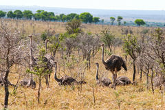 Female Ostriches Stock Image
