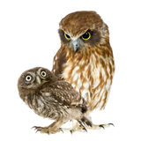 Female Owl And A Owlet Stock Photos