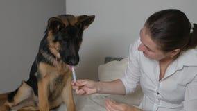 Female owner feeding medicine with a dog syringe. Animal Health Concept. Giving Medication to a German Shepherd Dog