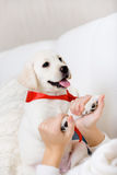 The female owner hands the paws of puppy Stock Image