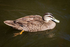 Female Pacific Black Duck Swimming Stock Photos