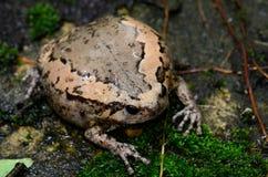 Female Painted Bullfrog (Kaloula pulchra) stock photography