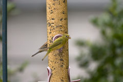 Female Painted Bunting feeding. A female Painted Bunting on the feeder with a goldfinch Royalty Free Stock Photo