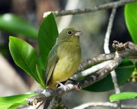 Female Painted Bunting (Passerine ciris) Stock Photo