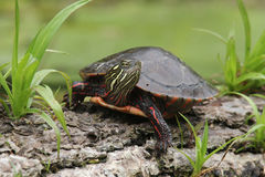Female Painted Turtle Basking on a Log. Painted Turtle (Chrysemys picta) Basking on a Log - Old Ausable Channel, Pinery Provincial Park, Ontario, Canada Royalty Free Stock Images