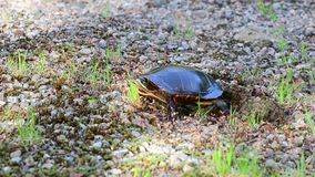 Turtle Flattens Soil with Feet stock footage