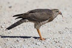 Female Pale Chanting Goshawk killing a small lizard on the ground in Kalahari royalty free stock photo