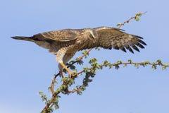 Female Pale Chanting Goshawk sitting in a tree against blue Kalahari sky royalty free stock images