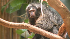 Female pale faced saki monkey stock footage