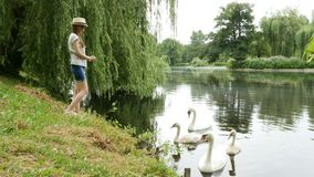 Girl in panama feeds swans on the lake in the summer park. Female in panama feeds swans on the lake in the summer park pond stock footage