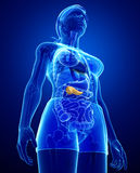 Female pancreas anatomy Stock Photography