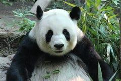A female panda in Chiangmai zoo,Thailand Royalty Free Stock Photography